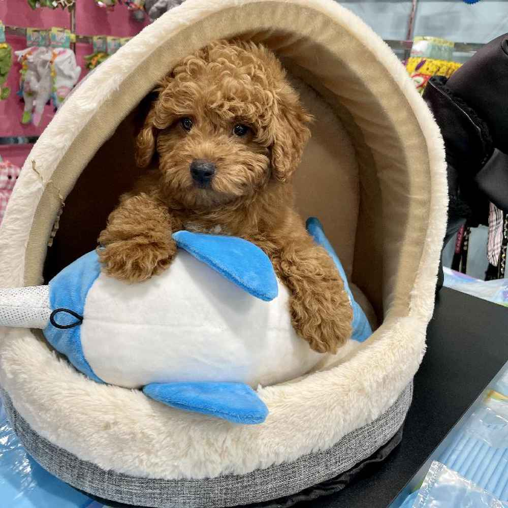 Male Mini Goldendoodle 2nd Gen Puppy for sale