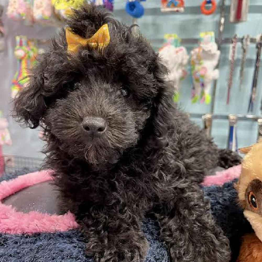 Female Mini Poodle Puppy for sale